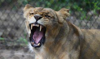 Lvi v Zoo Brno